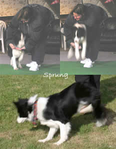 "Dog Dancing ""Sprung"""