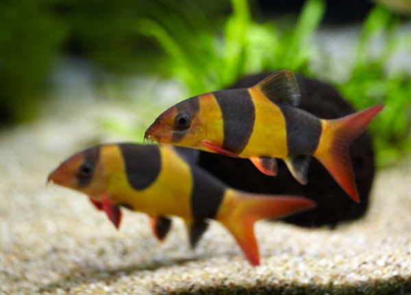 Fische for Aquarium fische arten