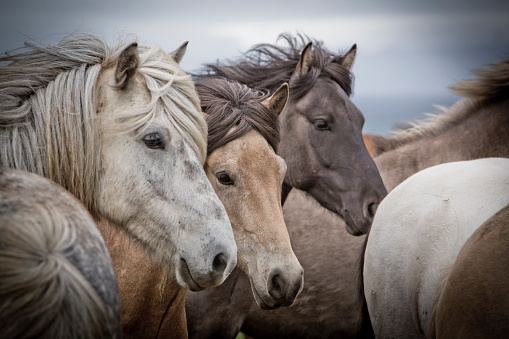 495040130-herd-of-iceland-horsesjpg