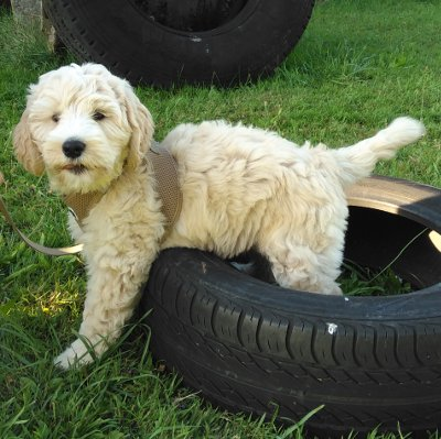 Welpe Labradoodle