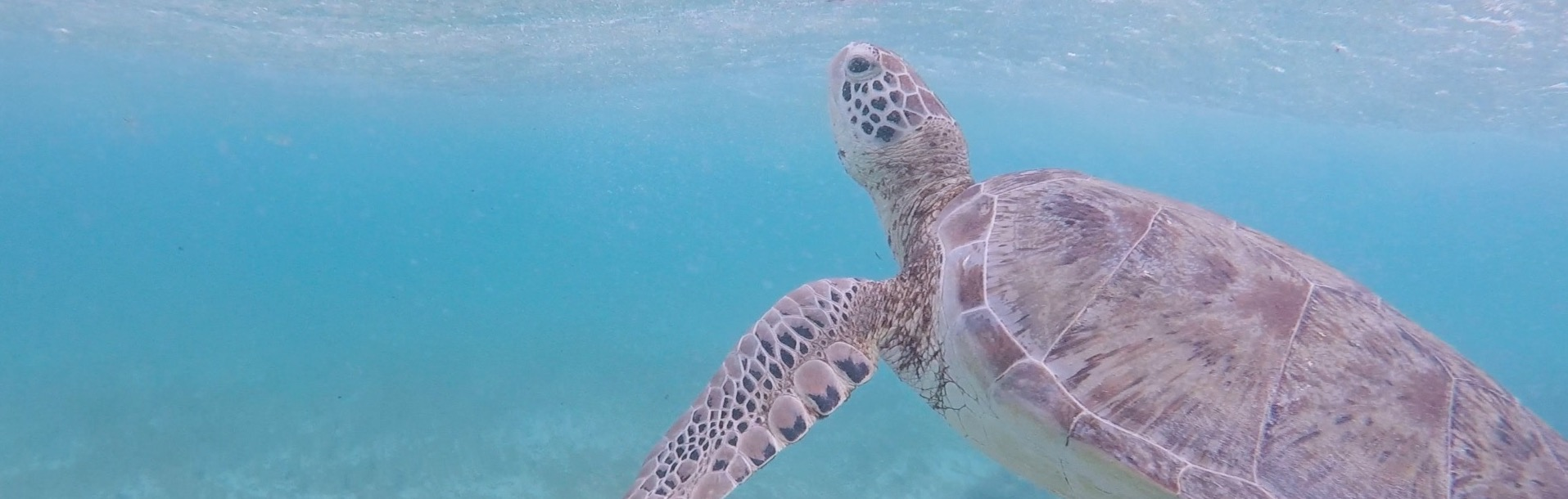 Swimming with a green turtle in Tobago Cays - Caribbean