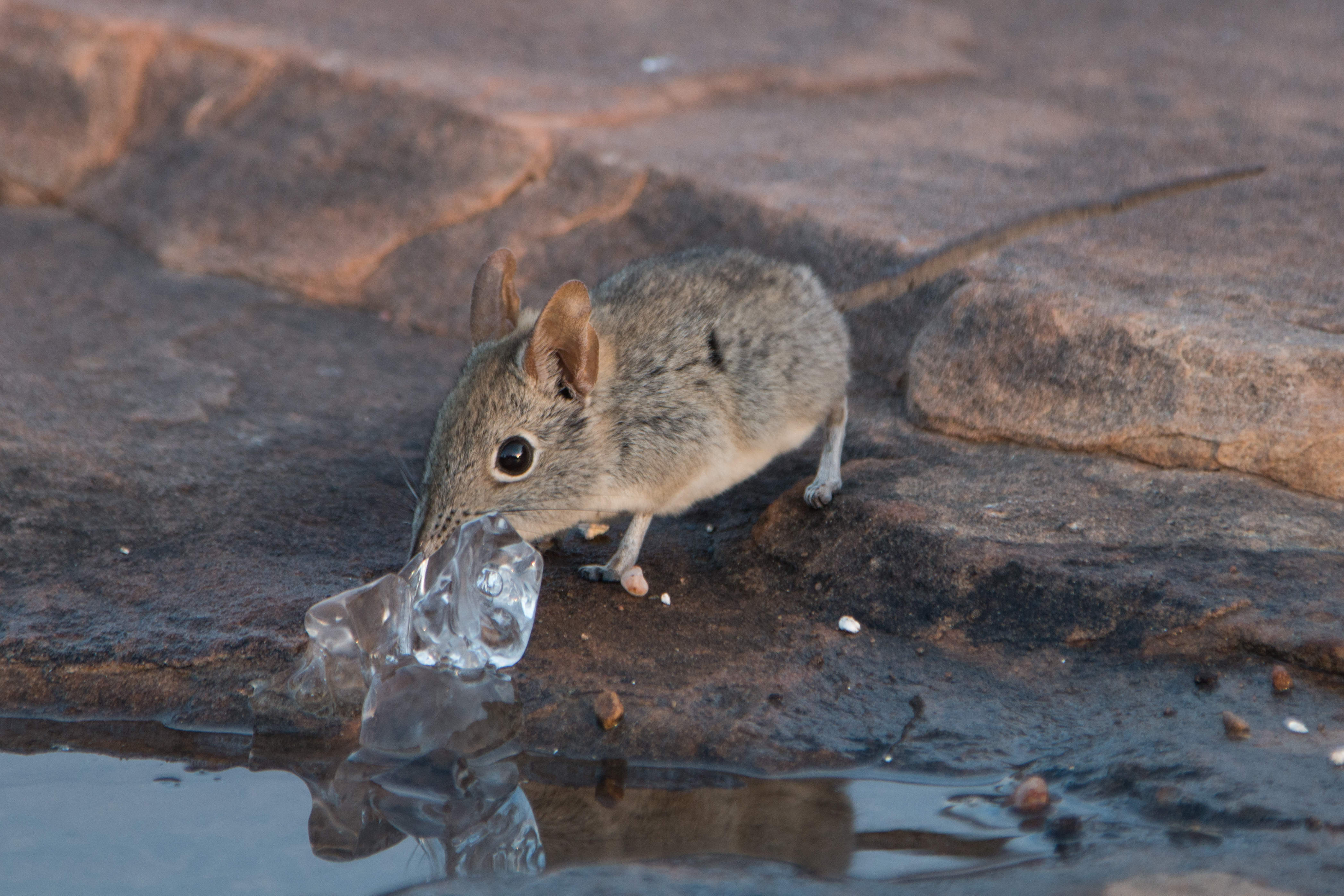 Rüsselspringer - Elephant Shrew