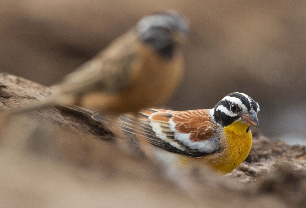 Golden breasted Bunting - Gelbbauchammer