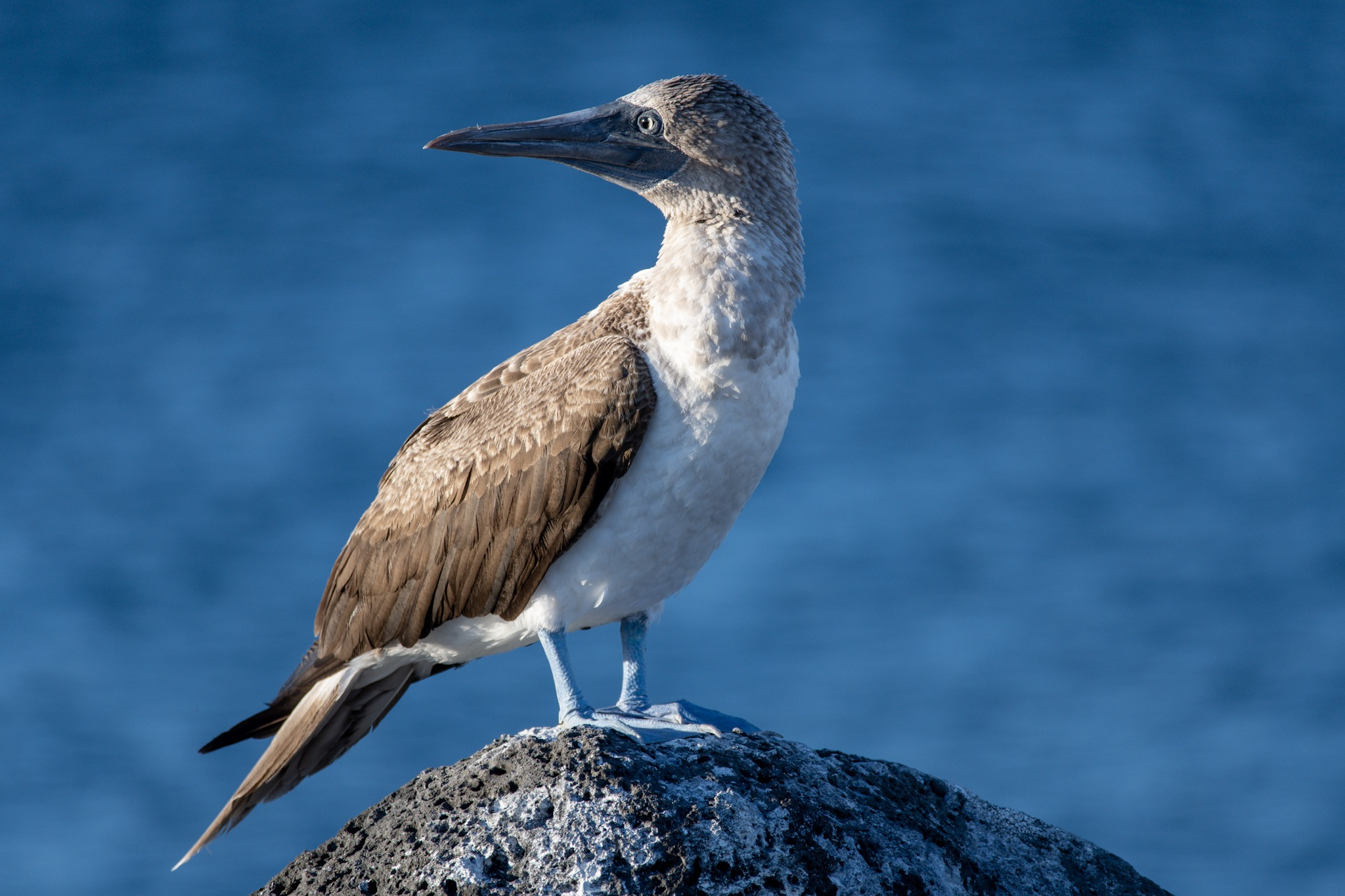 Blaufuss Tölpel Blue-footed booby