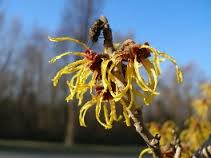Hamamelis virginica Similibus-Bio-Chip