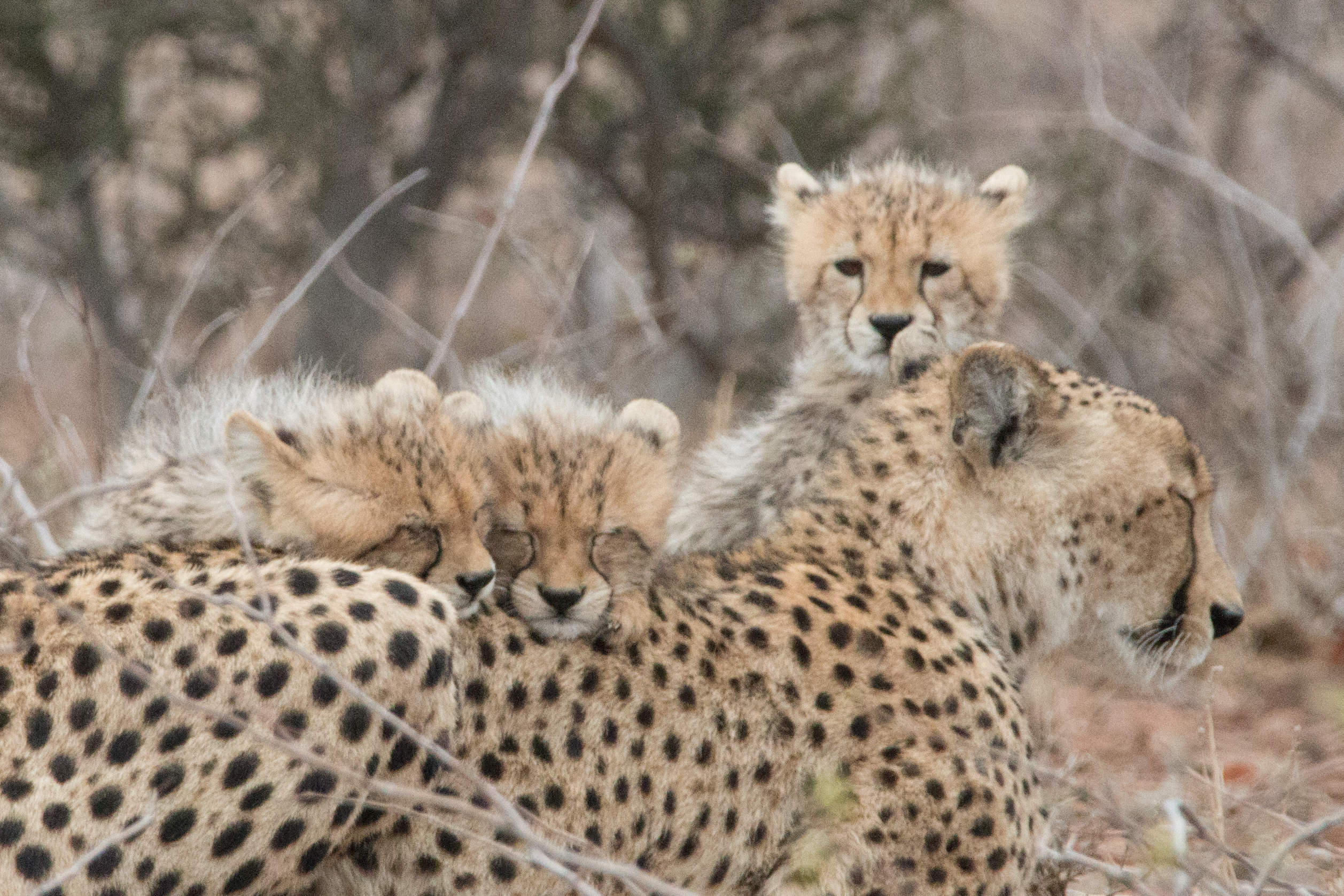 Gepardenfamilie - Cheetah Family