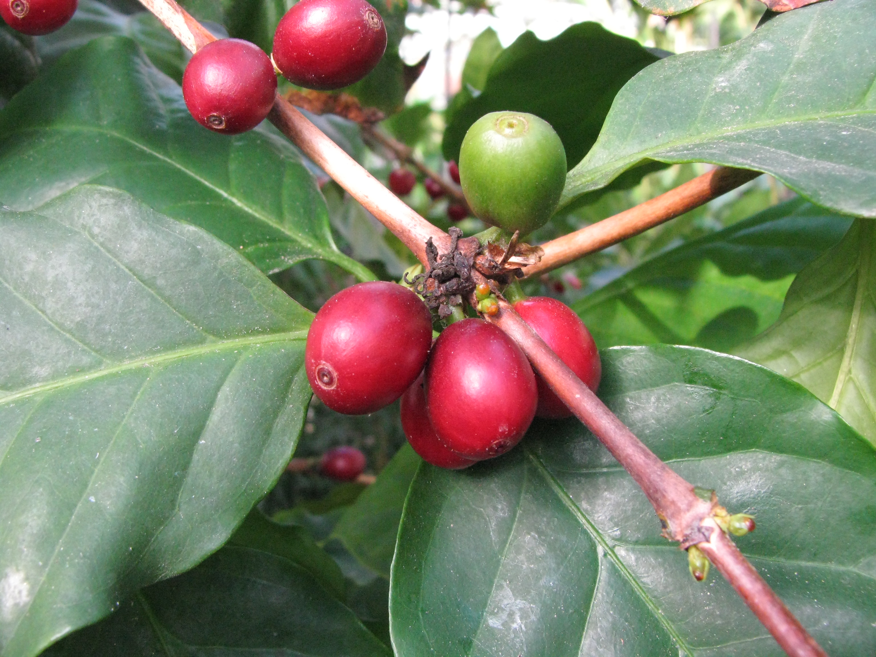 Coffea arabica Similibus-Bio-Chip