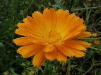 Calendula Similibus-Bio-Chip
