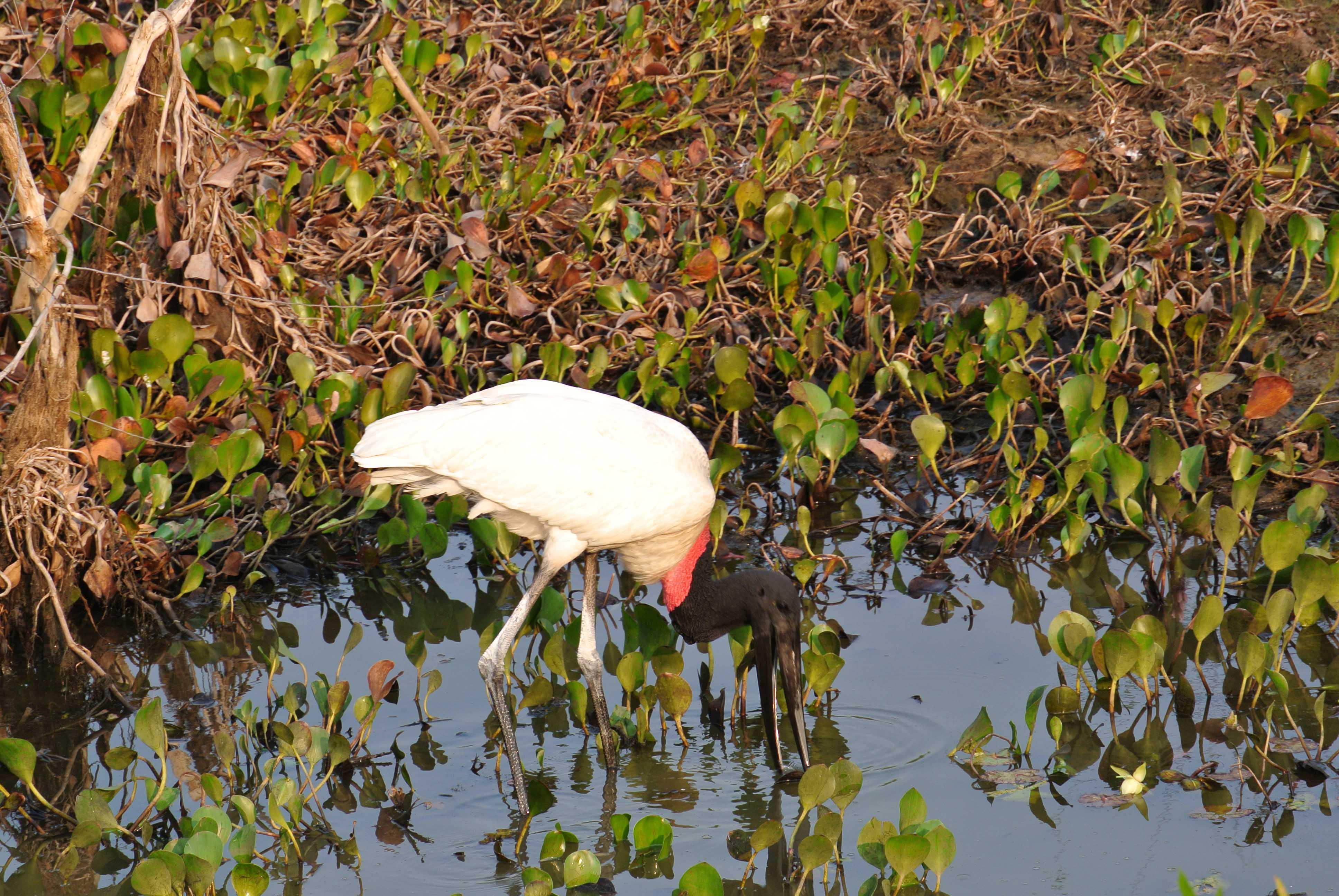 0271 2409 Pantanal - Passo do Lontra - Corumba 15JPG