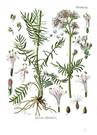 330px-Valeriana_officinalis_-_Khlers_Medizinal-Pflanzen-143_cleanjpg