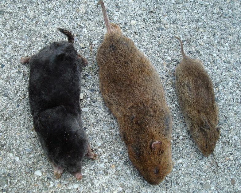 Berühmt mäuse oder maulwurf #EW_08