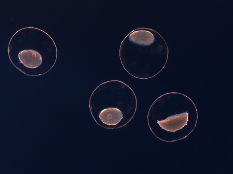 Encapsulated bacteria in alginate beads
